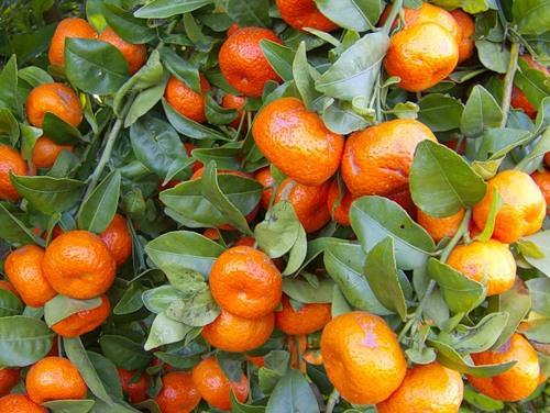Украинцы активно скупают мандарины в канун новогодних праздников