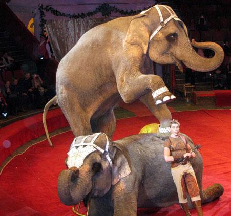 Слонихи «сидят» на диете без жира